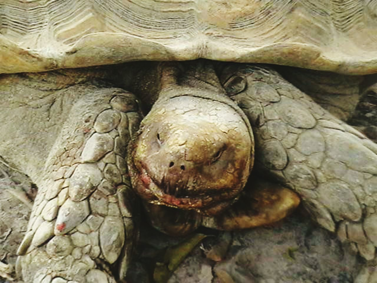 one animal, animal themes, animals in the wild, tortoise, reptile, animal wildlife, close-up, animal head, tortoise shell, no people, day, outdoors, nature