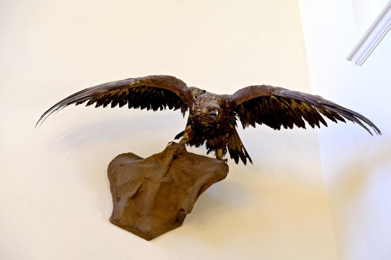 Animal Body Part Animal Themes Ausgestopft Bird Bird Of Prey Eagle - Bird Flying No People Präparate Spread Wings