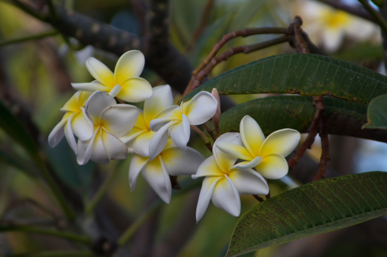flower, growth, nature, beauty in nature, leaf, freshness, petal, fragility, green color, plant, flower head, day, close-up, outdoors, blooming, no people, frangipani