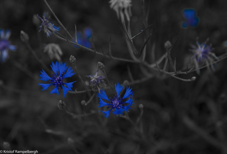 Beauty In Nature Blue Close-up Flower Flower Head Fragility Freshness Growth Nature No People Outdoors Plant