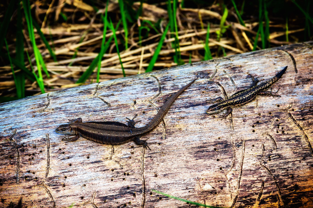 Lizard on a log. Animal Themes Animal Wildlife Animals In The Wild Close-up Day Lizard Lizard Nature Nature No People Outdoors