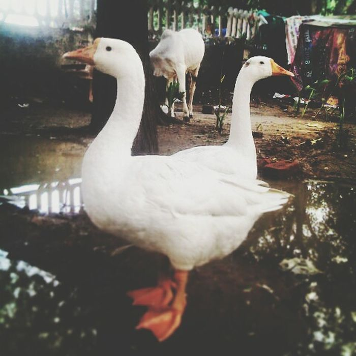Swan - Abshine photography Bird Animals In The Wild Swan Animal Wildlife White Color Animal Themes One Animal Beak Water Bird No People Nature Water Outdoors Day Swimming Close-up Swans Swimming Swan In A Lake Bird Of Prey Motog3 Mobilephotography Photography Abshine Picoftheday Beauty In Nature