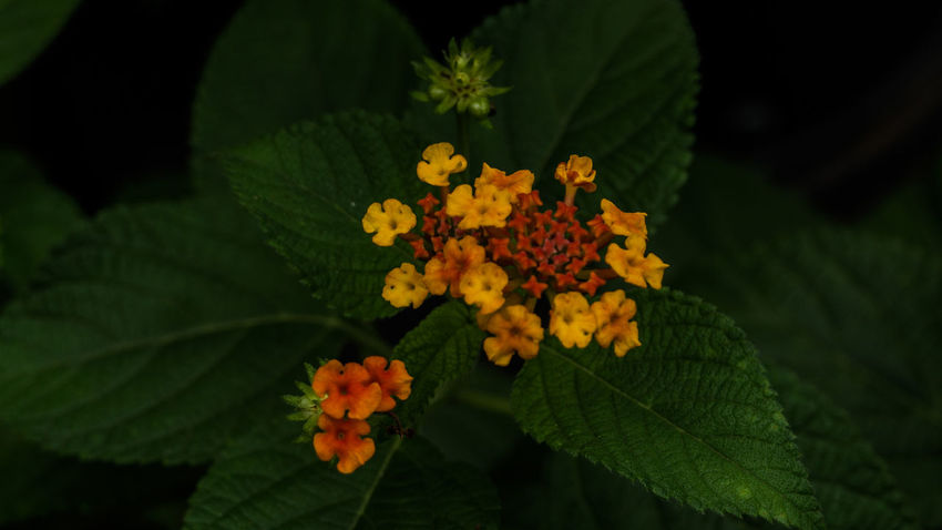 Bunch of beautiful little yellow orange flowers in the garden Nature Nature Photography Beauty In Nature Blooming Close-up Flower Flower Head Focus On Foreground Fragility Freshness Green Color Growth Lantana Lantana Camara Leaf Nature No People Outdoors Petal Plant