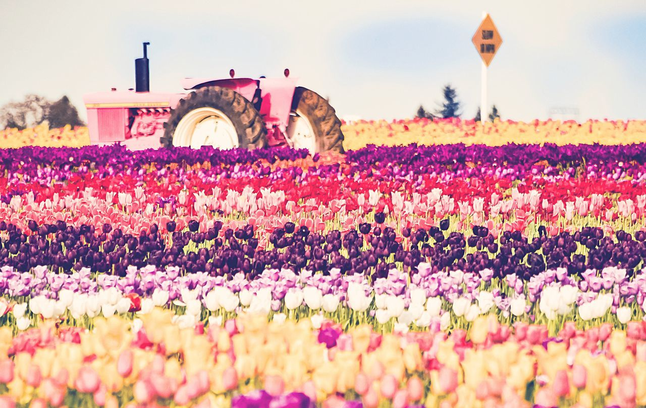 Wooden Shoe Tulip Festival PINK Tracker Faded Color Tracker Surrounded By Beauty Woodburn, OR Exploring The PNW PNW Photography EyeEm 2017 Collection Pink Poppin Colors Blooming Tranquility In Colors Pnwcollective Pnwisbest Pnwlife Pnwanderlust OR State Tranquility Landscape Pink Color Nature Freshness