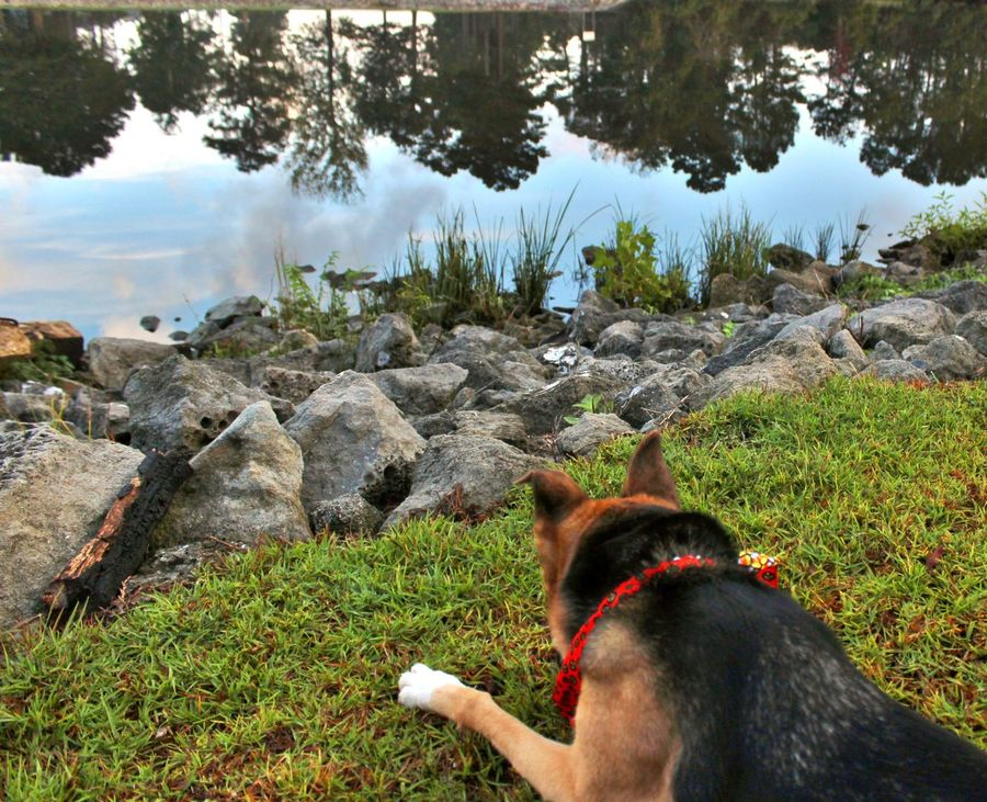 German Shepherd dog watching the reflections in the waterway, laying on green grass by the rocks. Black And Brown Dog Cloud Reflections Water Reflections Animal Themes Day Dog Domestic Animals German Shepherd Grass Landscape Mammal Nature No People One Animal Outdoors Pets Rocks Rocks And Water Tree Tree Reflection  Waterway