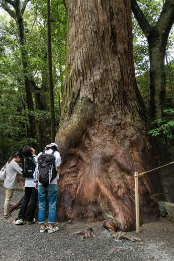 Sacred tree, Naiku, Ise Japan Naiku Sacred Shinto Shrine Tree Tree Trunk WoodLand