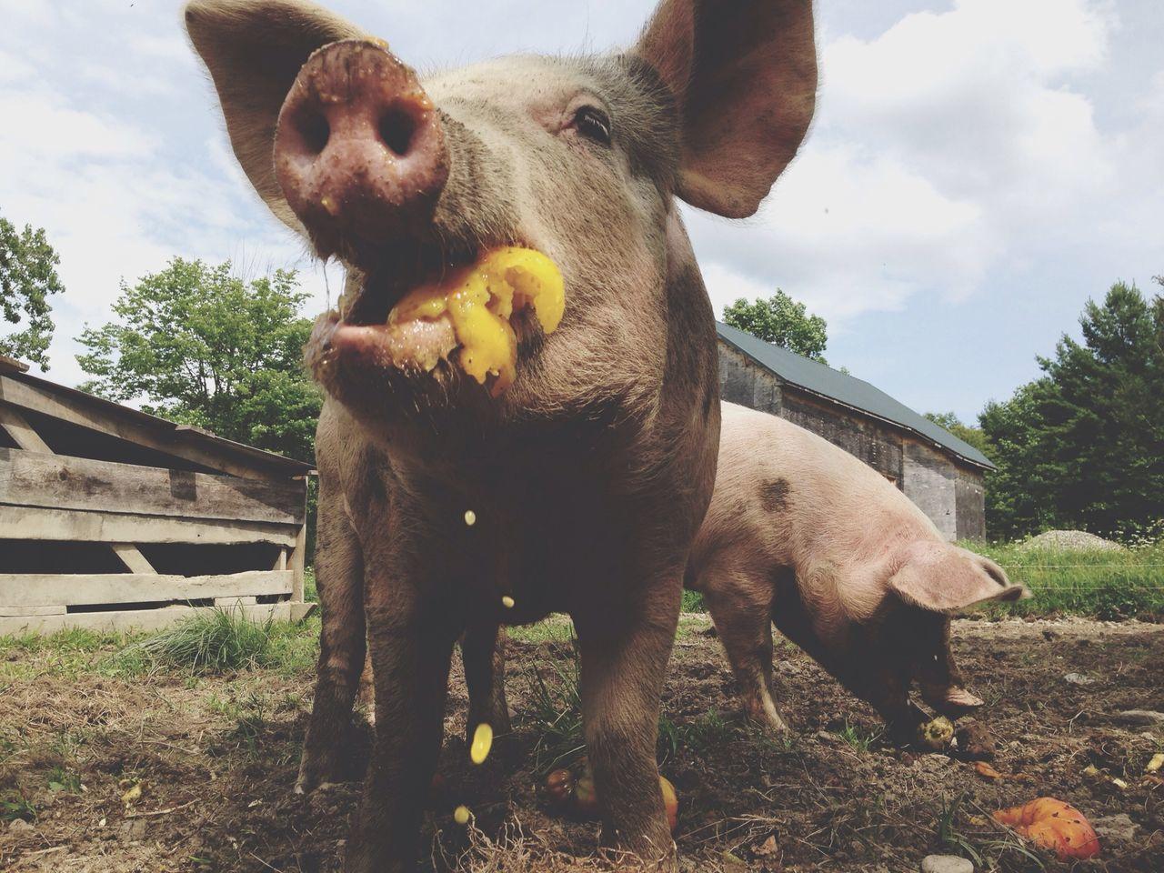 Beautiful stock photos of farm, Agriculture, Animal, Animal Nose, Animal Themes