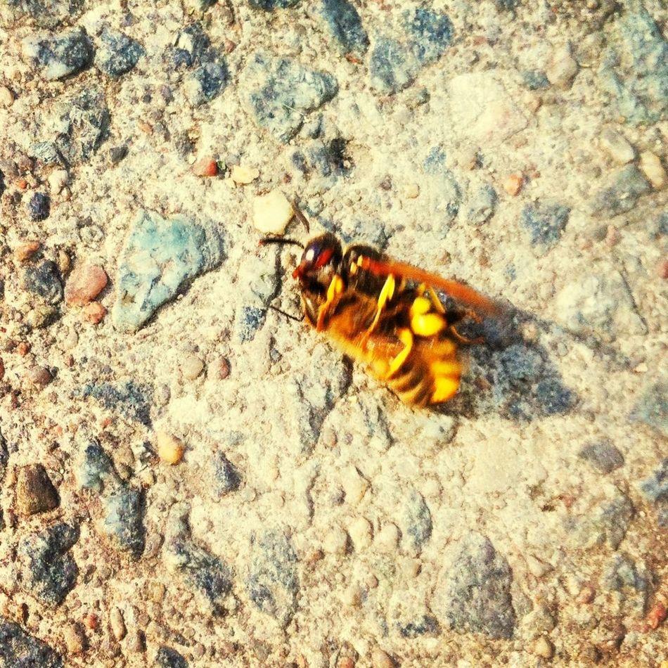 Wasp vs. Bee