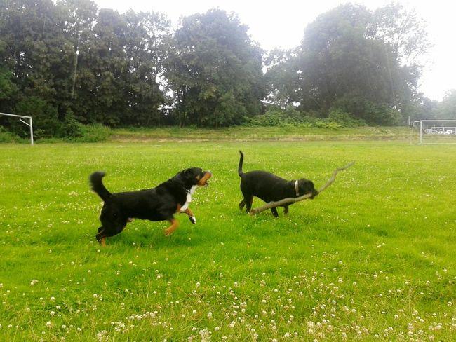 Freya Mit Rocky Playing Dogs Dogs Of EyeEm Playing With My Dog Dogs MydogBernersennenhund Rottweiler Hunderunde Hundefreundschaft Unterwegsunddraußen Dog Sport