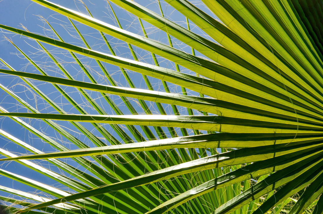 Abstract of Chinese Fan Plant with a blue sky in Western Australia. Abstract Architecture Backgrounds Botany Chinese Fan Close-up Fan Flora Foliage Full Frame Garden Green Color Growth Leaf Leaves Low Angle View Nature Outdoors Pattern Patterns In Nature Plant Repetition Sky Tree Tropical