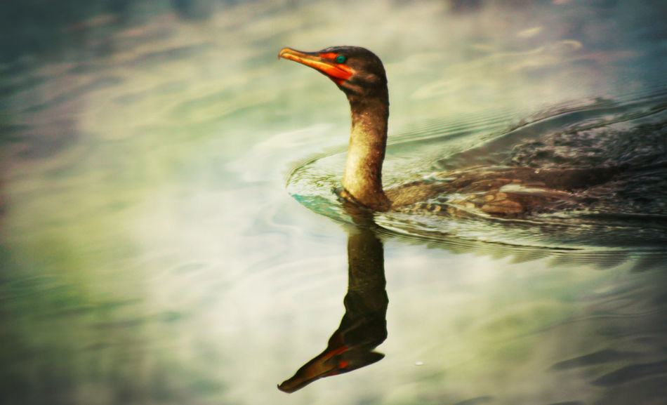 Animal Themes Animals In The Wild Beak Bird Birds Connecticut Double-crested Cormorant Mystic River Nature New England  Side View Wildlife