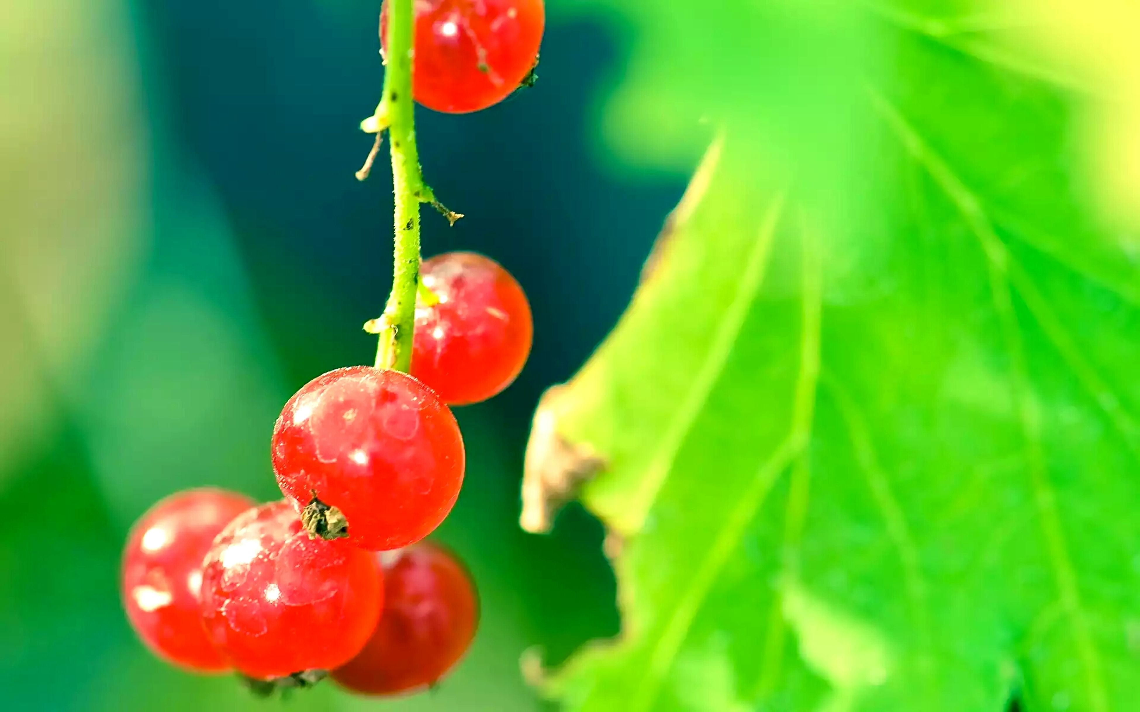 red, freshness, fruit, growth, close-up, food and drink, focus on foreground, green color, leaf, stem, plant, healthy eating, nature, food, bud, drop, ripe, selective focus, beauty in nature, growing