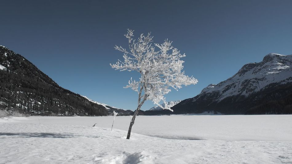 The witchery of a soft blue sky Blue Bluesky Engadin Experimental Lake Lake View LakeSilvaplana Landscape Nature SilsMaria Solitude Swiss Alps Switzerland Tree Winter Wonderland Wintertime Cold Temperature Frozen Snow Snowcapped Mountain Tranquility Olympus OM-D EM-1 Selective Color