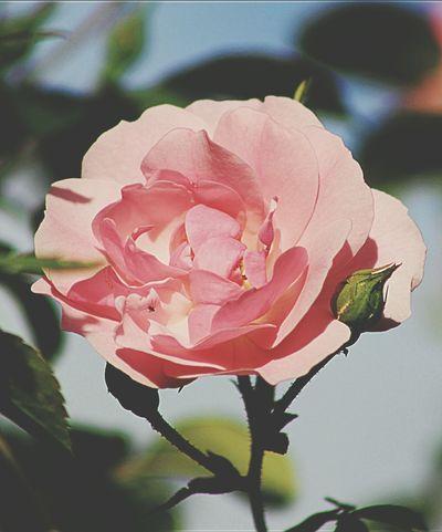 EyeEm Selects Flower Petal Plant Nature Pink Color Beauty In Nature Flower Head Roses Rose🌹 Rose Garden Roses Flowers  Roses, Flowers, Nature, Garden, Bouquet, Love, Pink Roses Pink Blossoms Rosebushes Rose Bud Rose Bush Rose Petals