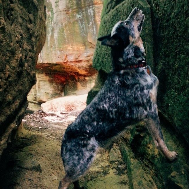 Took Oakley on a hike at WildcatDen he was pretty pumped to be out exploring ACD  Blueheeler Iowa