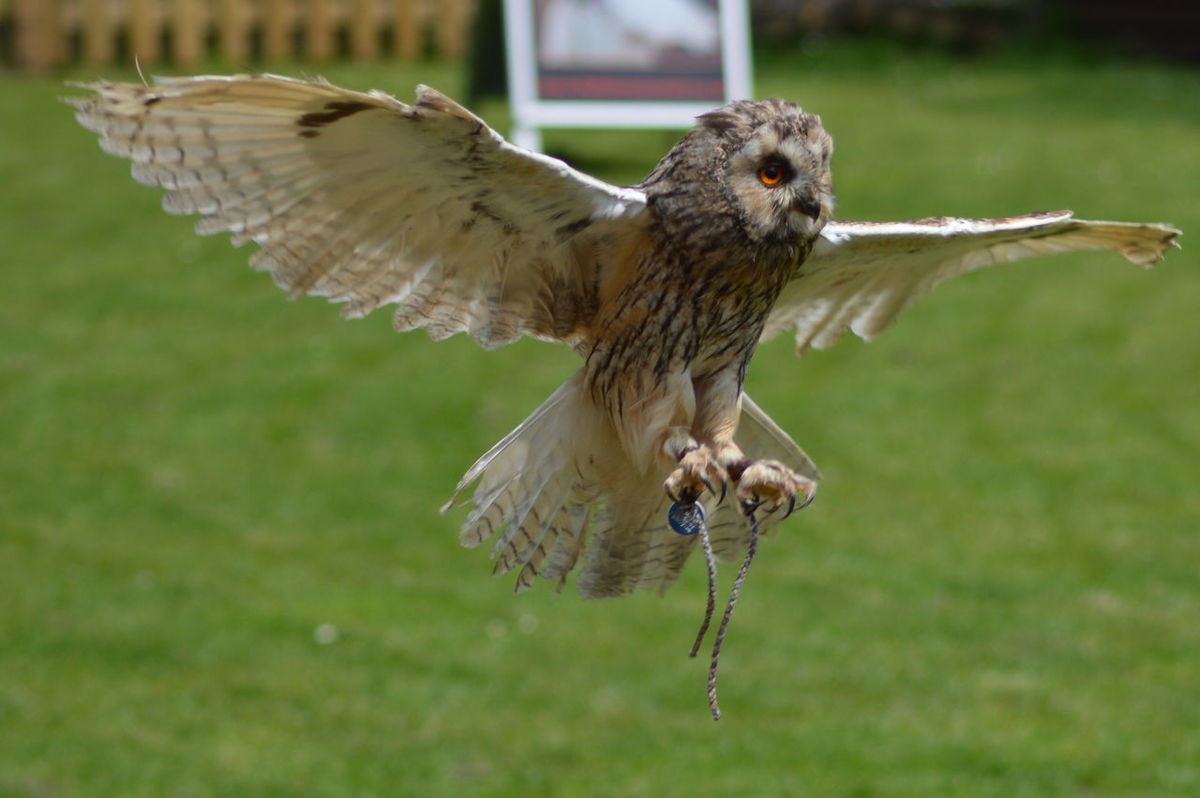 Owl Owl In Action Wingspan Wings Feathers Birds In Flight Bird Photography Bird Of Prey Hunter Silent Hunter No Filter, No Edit, Just Photography