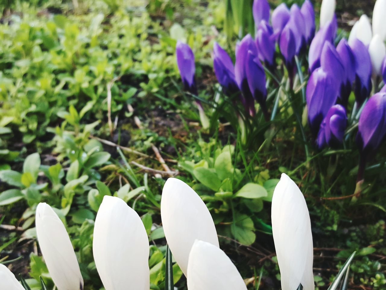 flower, growth, petal, beauty in nature, fragility, nature, freshness, flower head, plant, white color, day, purple, field, no people, close-up, focus on foreground, blooming, outdoors, snowdrop, crocus
