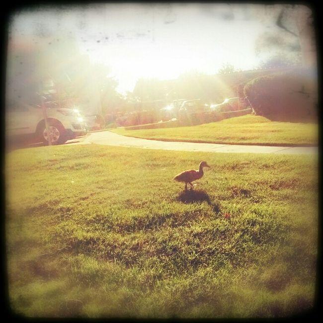 Lone Duckling Socute💕 Lovemycondos Sunset EyeEm Best Shots Eye4photography