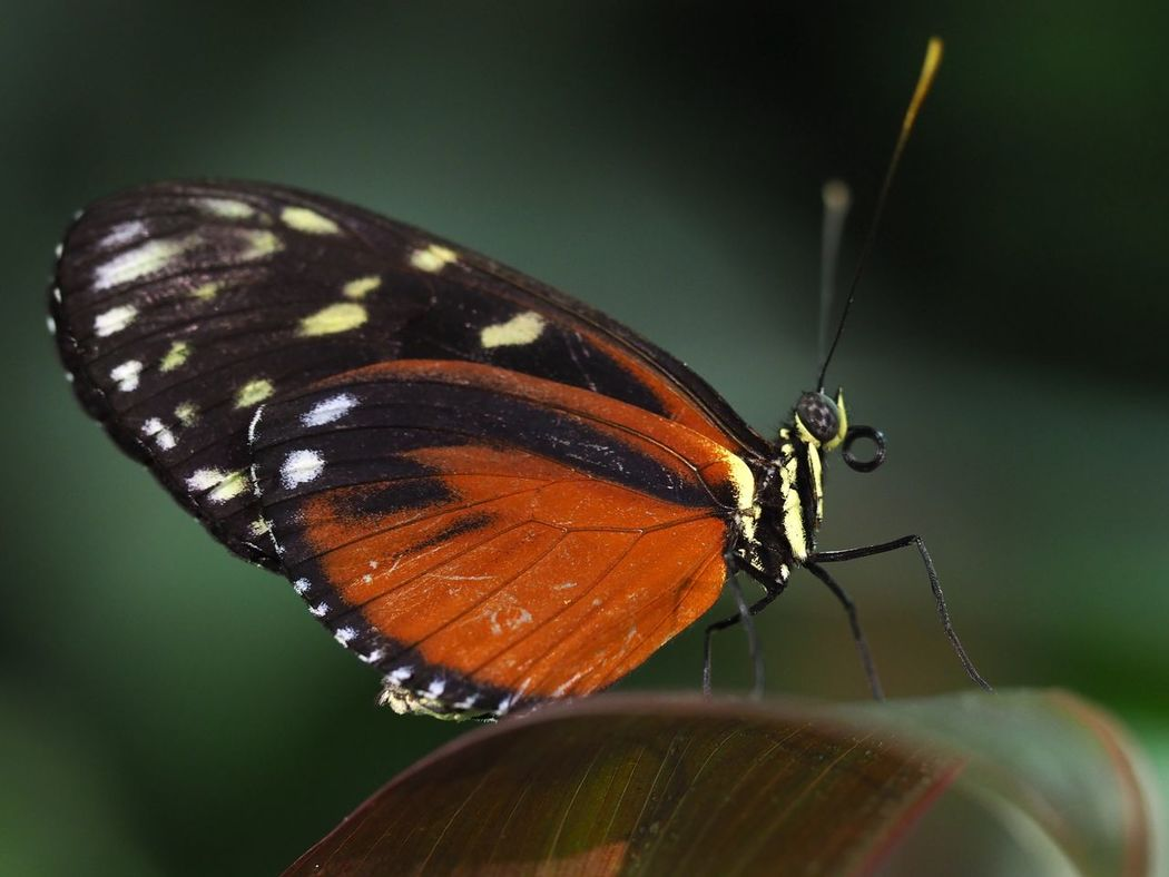Animal Animal Themes Animal Wing Animals In The Wild Beauty In Nature Butterfly Butterfly - Insect Close-up Color Colors Fragility Insect Multi Colored Nature Nature Photography No People One Animal Wilderness Wildlife Wildlife & Nature Background Backgrounds Tiger Longwing Tiger Longwing Butterfly Heliconius Hecale