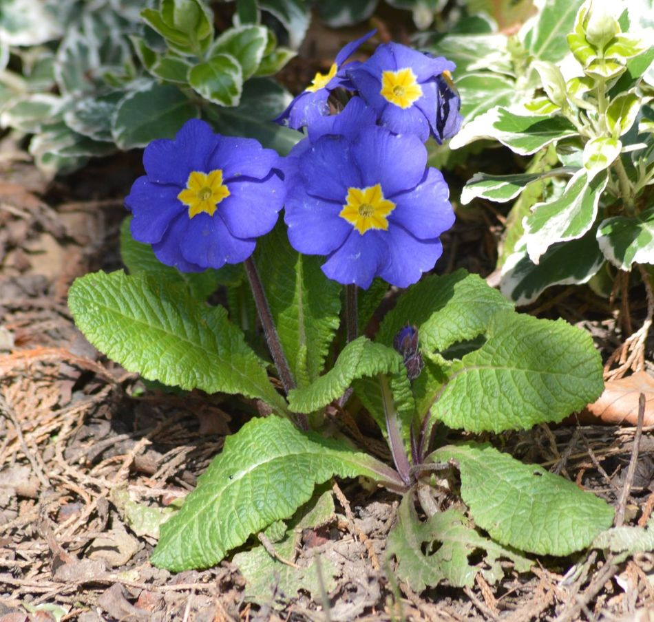 Beauty In Nature Blooming Blue And Yellow Blue And Yellow Flowers Botany Close-up Day Flower Flower Head Fragility Freshness Garden Garden Photography Green Color Growth Hedgerow Leaf Nature No People Outdoors Petal Plant Primrose Purple WoodLand