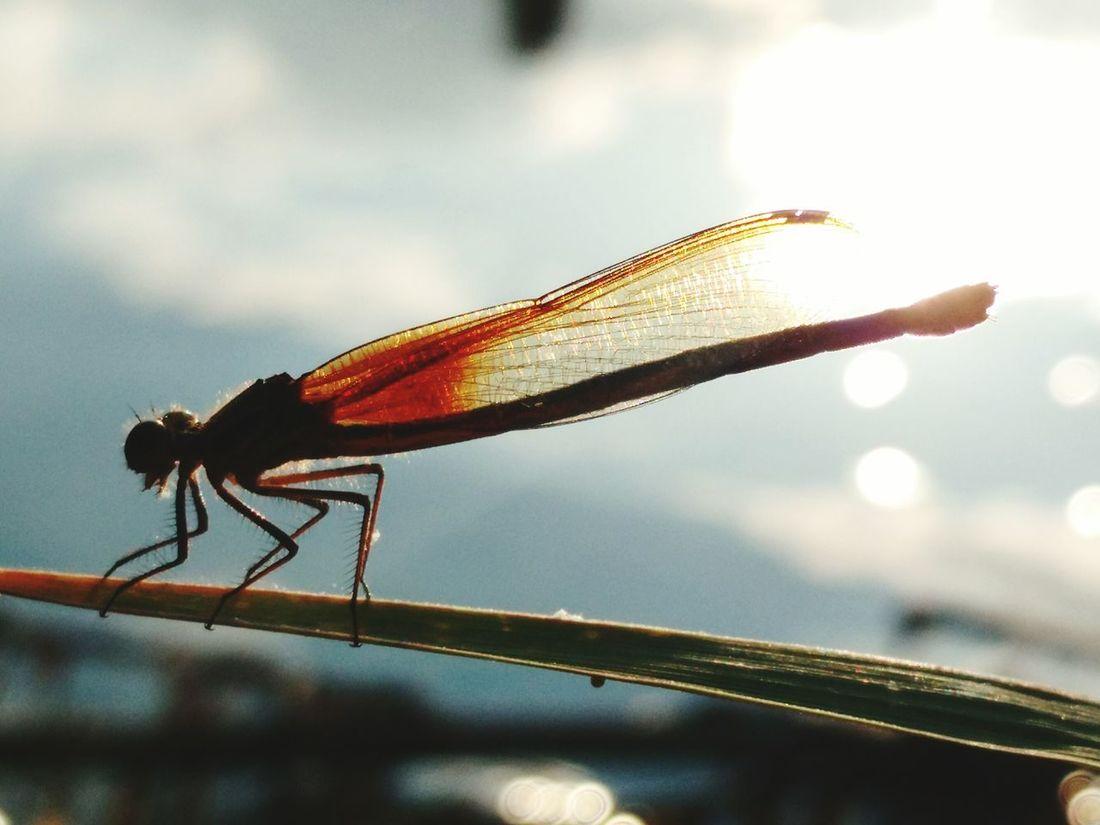 Libellule River Insect Libelula Rio Naturaleza Insects