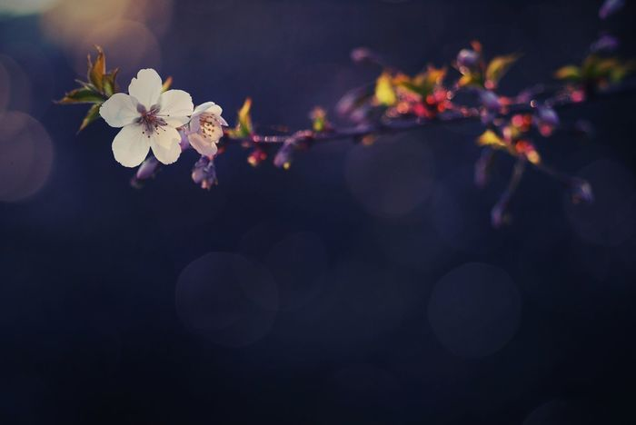 Spring Bokeh Bokehlicious Peaceful Flowers Blossom Nature In Bloom Freshness Fragile Branch Special Light Contrast Color Photography Color Dark Background White Flower White Close-up Beauty In Nature Apple Blossom Fresh On Eyeem  Fresh On Eyeem