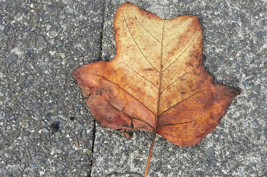 Leaf High Angle View Directly Above Close-up Autumn No People Maple Leaf Nature Day Outdoors Maple Fragility Warm Colors