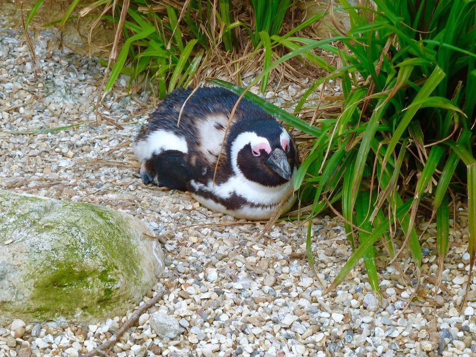Penguin Whipsnade Zoo One Animal Animal Themes Grass Outdoors Mammal No People Day Nature