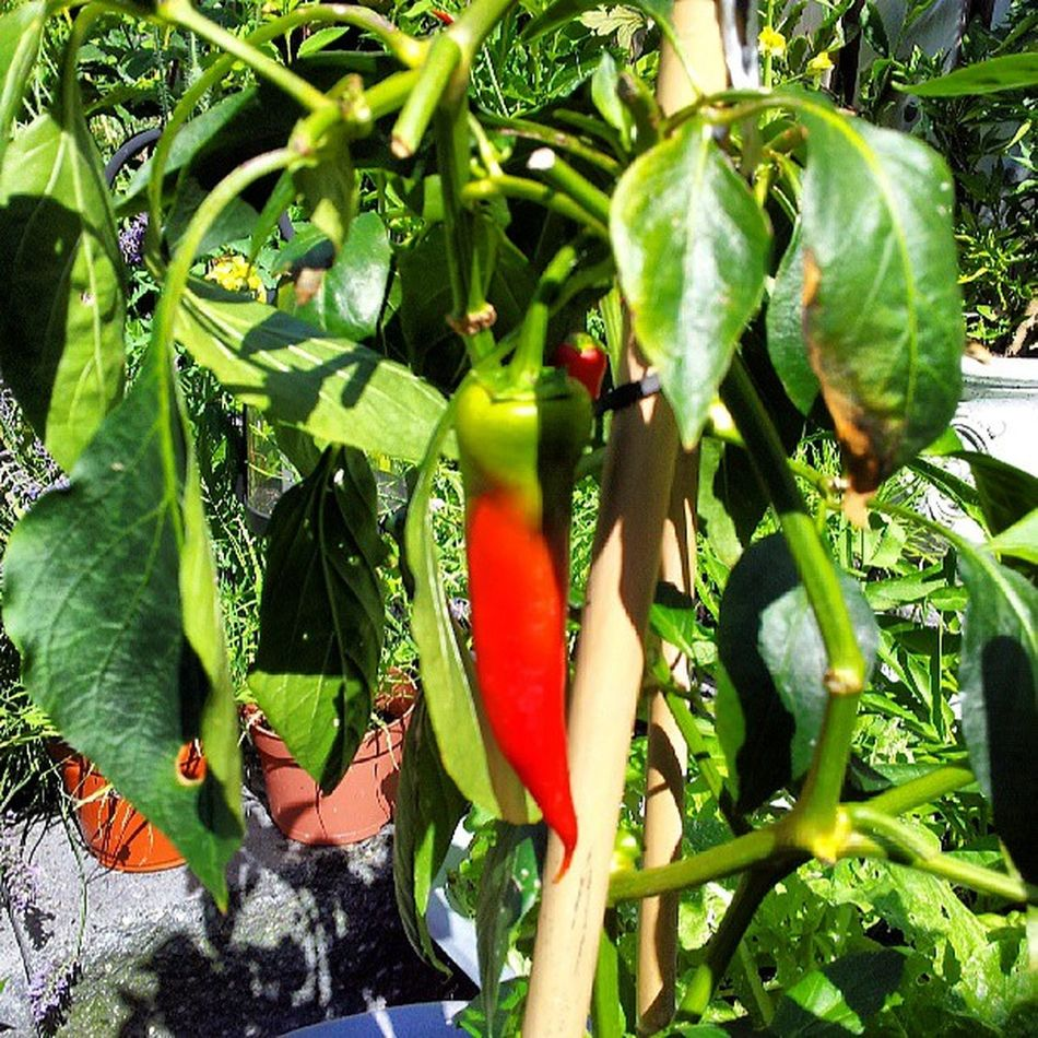 Chillipepper