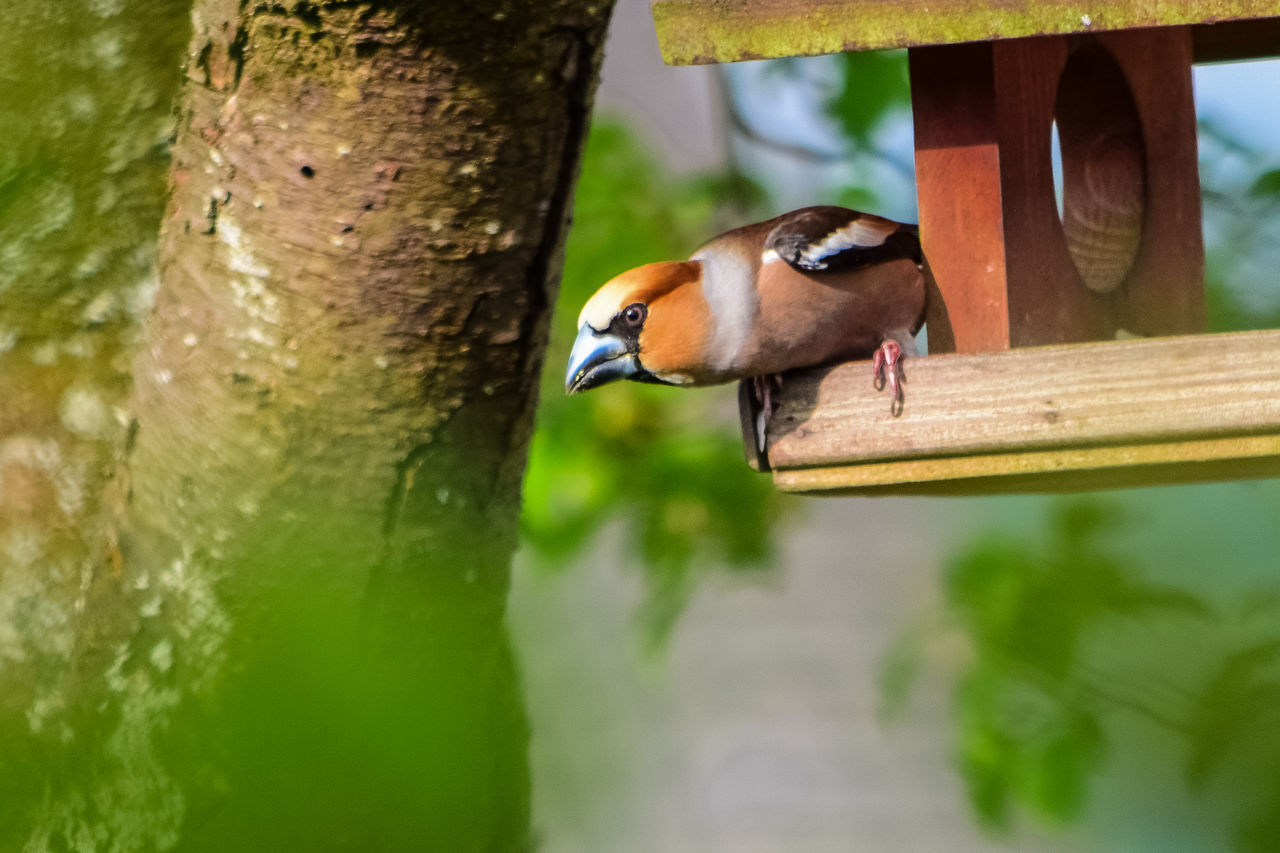 hawfinch (Coccothraustes coccothraustes) Animal Animal Themes Bird Bird Photography Garden Photography Hawfinch (Coccothraustes Coccothraustes) Nikon Nikonphotography Outdoors Selective Focus The Great Outdoors With Adobe The Week Of Eyeem Zoology