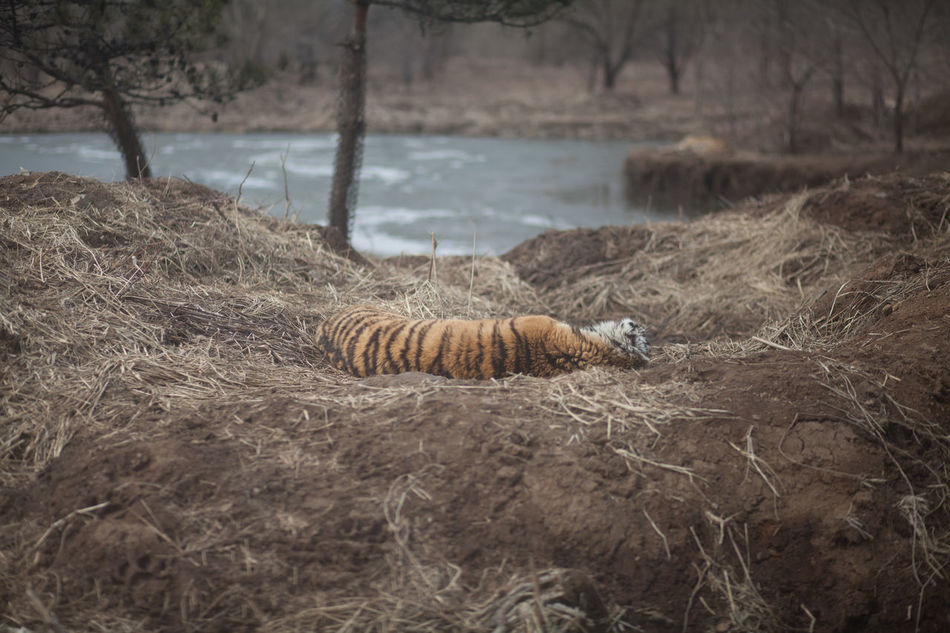 Beautiful stock photos of tiger, Animal Themes, Animals In The Wild, Beauty In Nature, Day