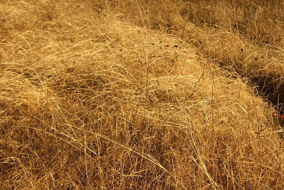 Winter grasses, golden weeds and grain, out in the countryside of rural Texas, in the sunlight. Beauty In Nature Close-up Country Countryside Day Farm Field Golden Golden Light Grass Growth Landscape Nature No People Outdoors Stems Sunlight Weed Winter Grasses