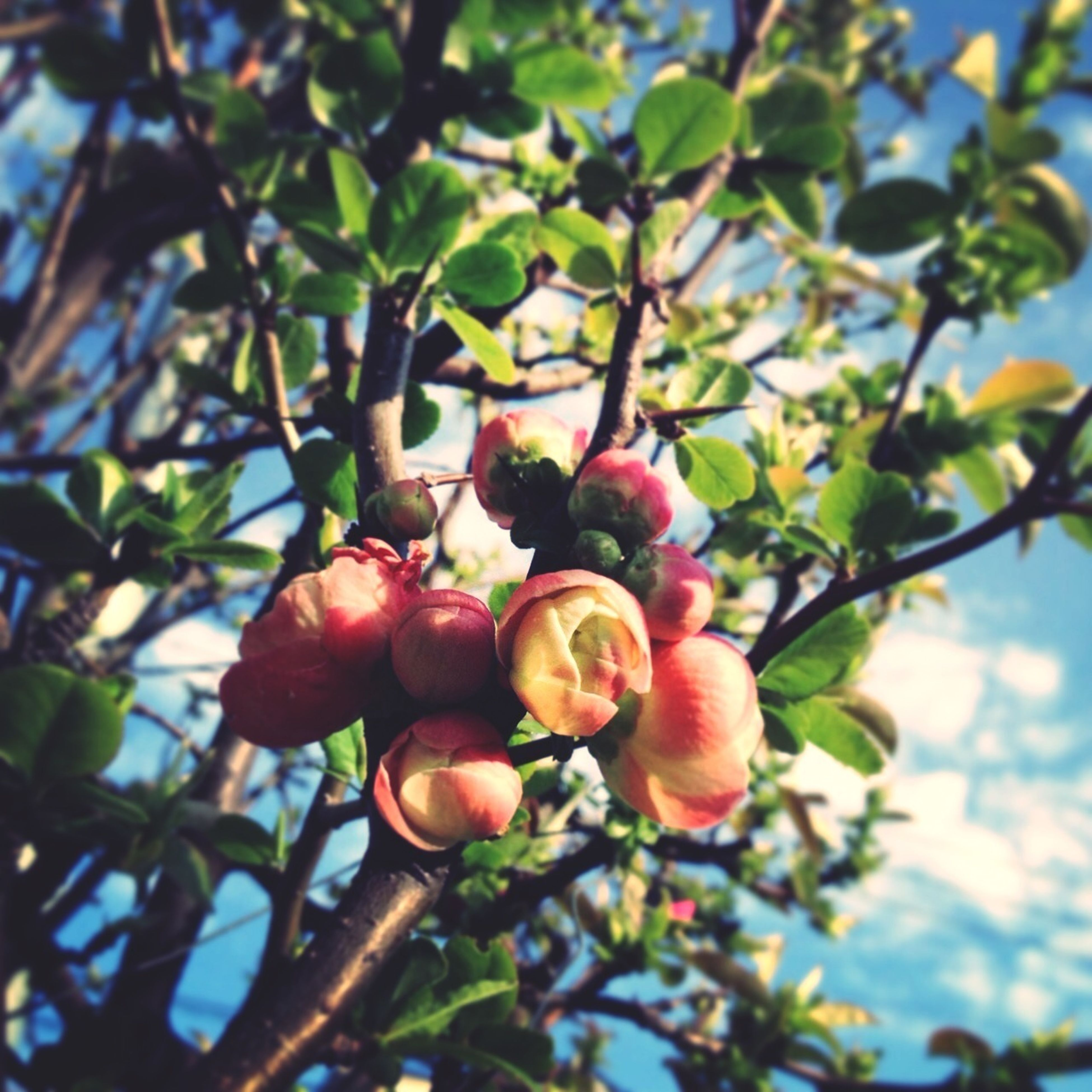 freshness, tree, branch, growth, low angle view, fruit, leaf, food and drink, nature, flower, close-up, focus on foreground, beauty in nature, food, apple tree, red, day, outdoors, bud, sky