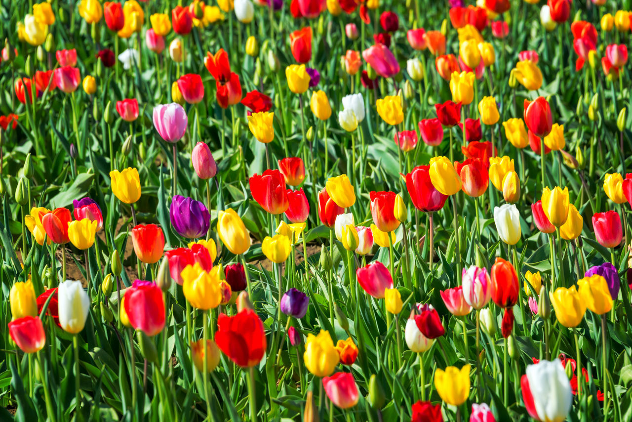 Bright and colorful tulips in Woodburn, Oregon Beauty In Nature Blooming Colorful Day Flower Flowerbed Flowers Freshness Green Nature No People Oregon Outdoors Pacific Northwest  Pink Purple Red Row Rows Tulip Tulips United States USA Woodburn Yellow
