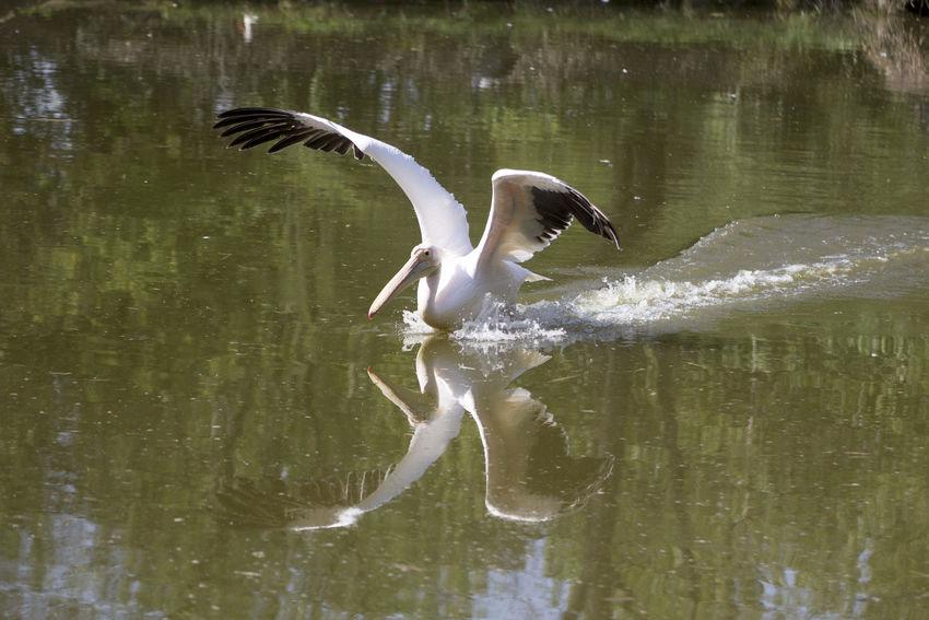 pelican Pelecanus Occidentalis Pelecanus Onocrotalus Pelecanus Pelican Pelican Birds Pelican In Flight Pelican In The Water Pelicans Pelicans In Flight Pellicano Pellicanoriccio