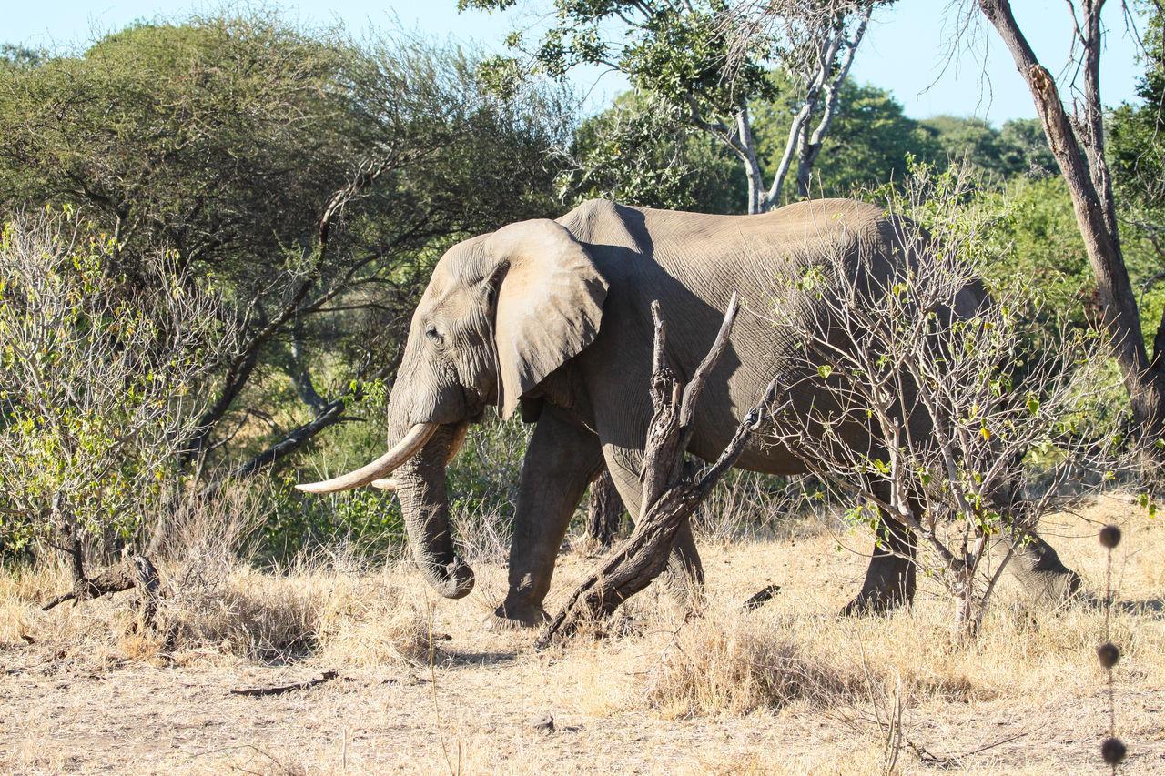 Adult Animal African Elephant Animal Themes Animal Wildlife Animals In The Wild Day Elephant Endangered Species Mammal Nature No People One Animal Outdoors Safari Animals Tree Tusk