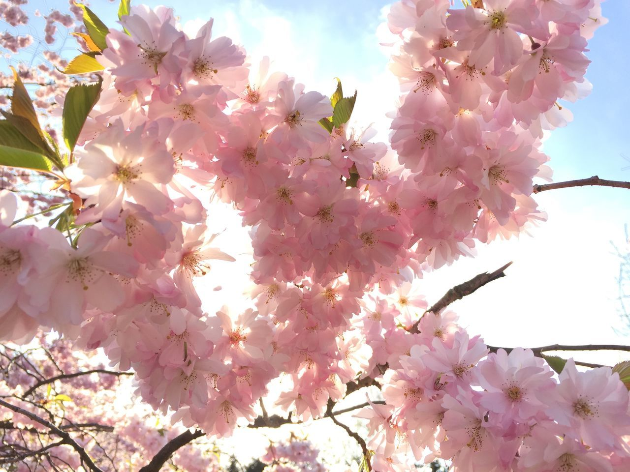 flower, blossom, fragility, beauty in nature, growth, nature, pink color, springtime, branch, freshness, tree, low angle view, botany, no people, twig, petal, outdoors, day, flower head, blooming, close-up, sky