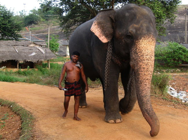 Animal Day Elephant Habarana Man Outdoors Road Sri Lanka Walking Together The Portraitist - 2016 EyeEm Awards