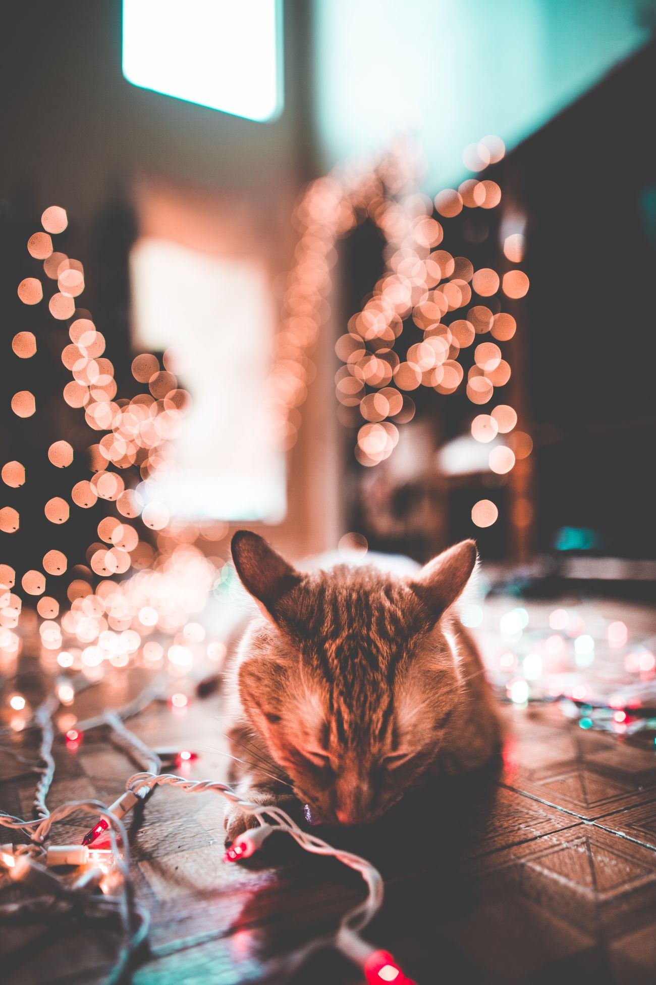 Christmas Domestic Cat Christmas Tree Christmas Lights Pets Domestic Animals Christmas Decoration Indoors  Celebration One Animal Celebration Event Holiday - Event Animal Themes Mammal Home Interior Tradition Illuminated Feline Night Portrait