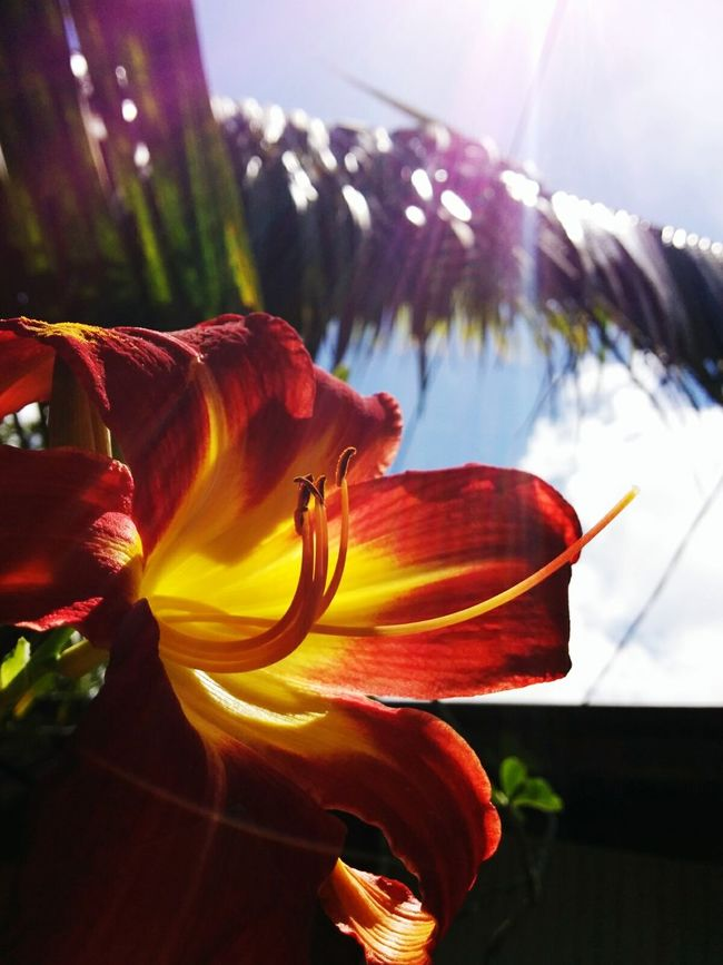 InTheGarden Lys Lysflower Flower Collection Flowerporn Beautiful Nature Beautifulflower  Redyellow Bluesky Palm Trees