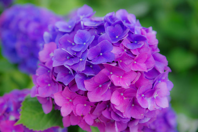 あじさいは土の酸度によって色がかわります。青が酸性でピンクが弱アルカリ性だったっけかな。 あじさいの杜 二本松寺 Flower Collection Flower Hydrangea 紫陽花 あじさい