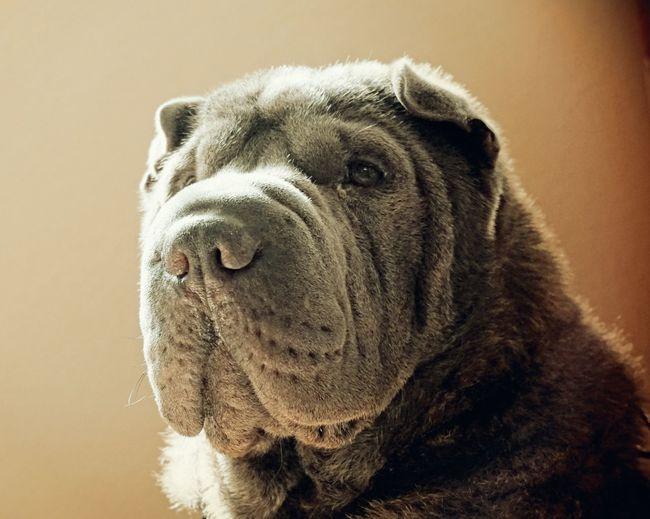 My hound Ball-Z... Sharpei I Love My Dog Mans Best Friend