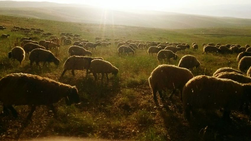 The sheep 🐑🐏 Animal Themes Herd No People Sheep Large Group Of Animals Outdoors Nature Sky Sunrise Grass Landscape Schaf  Animal Love Animalphotography Nice Day Nice Atmosphere Handy Shot Sunrisephotography Sheep And Lambs Naturephotography Nature_collection Landscape_collection EyeEmNatureLover Nature_collection No People Outdoors EyeEmNewHere