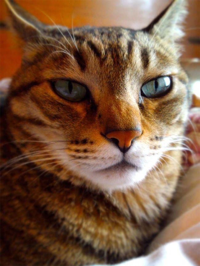 Relaxing Cat Blue Eyes