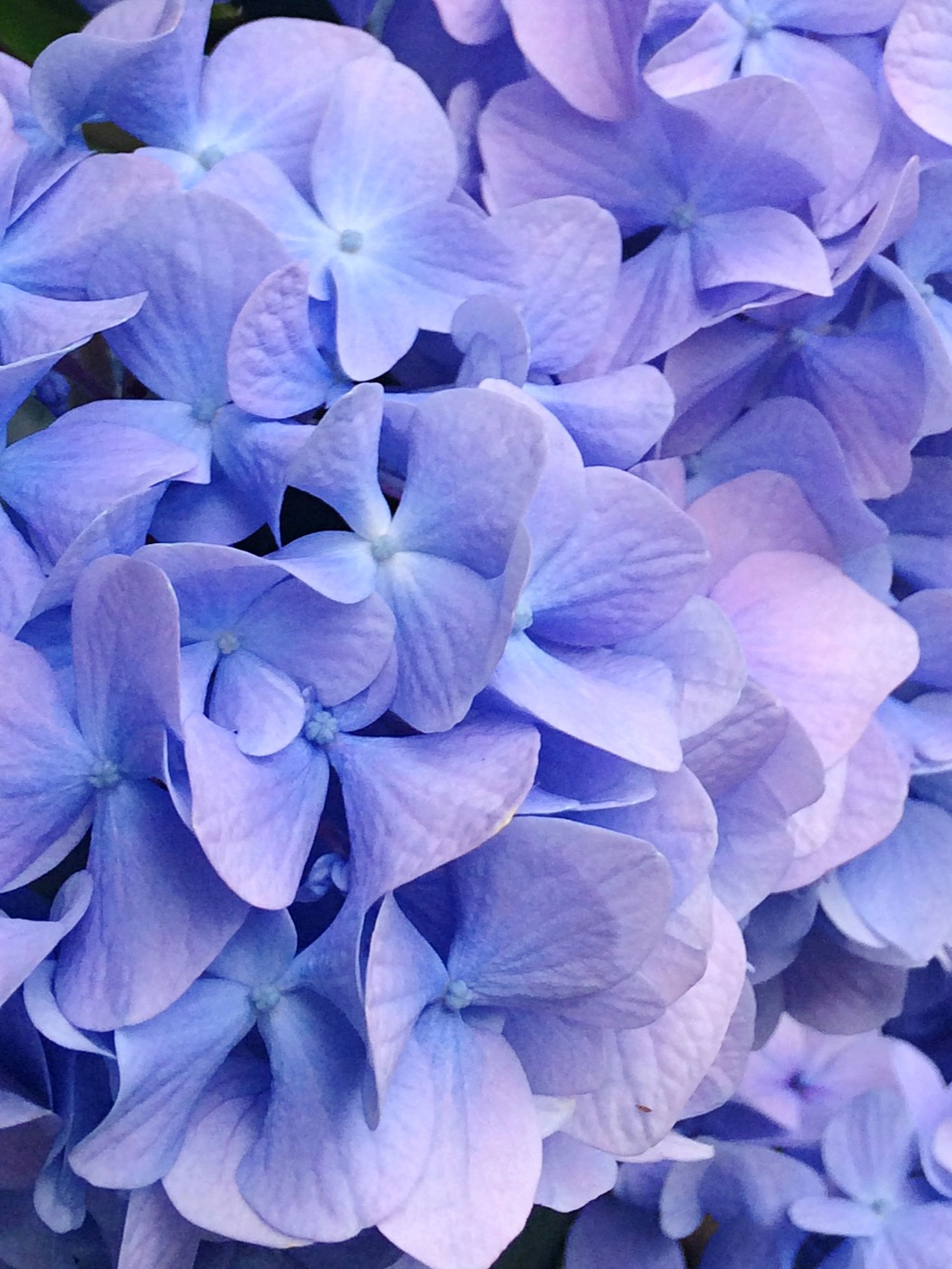 flower, petal, full frame, fragility, flower head, freshness, backgrounds, beauty in nature, purple, growth, blue, nature, close-up, blooming, plant, natural pattern, no people, in bloom, outdoors, bloom