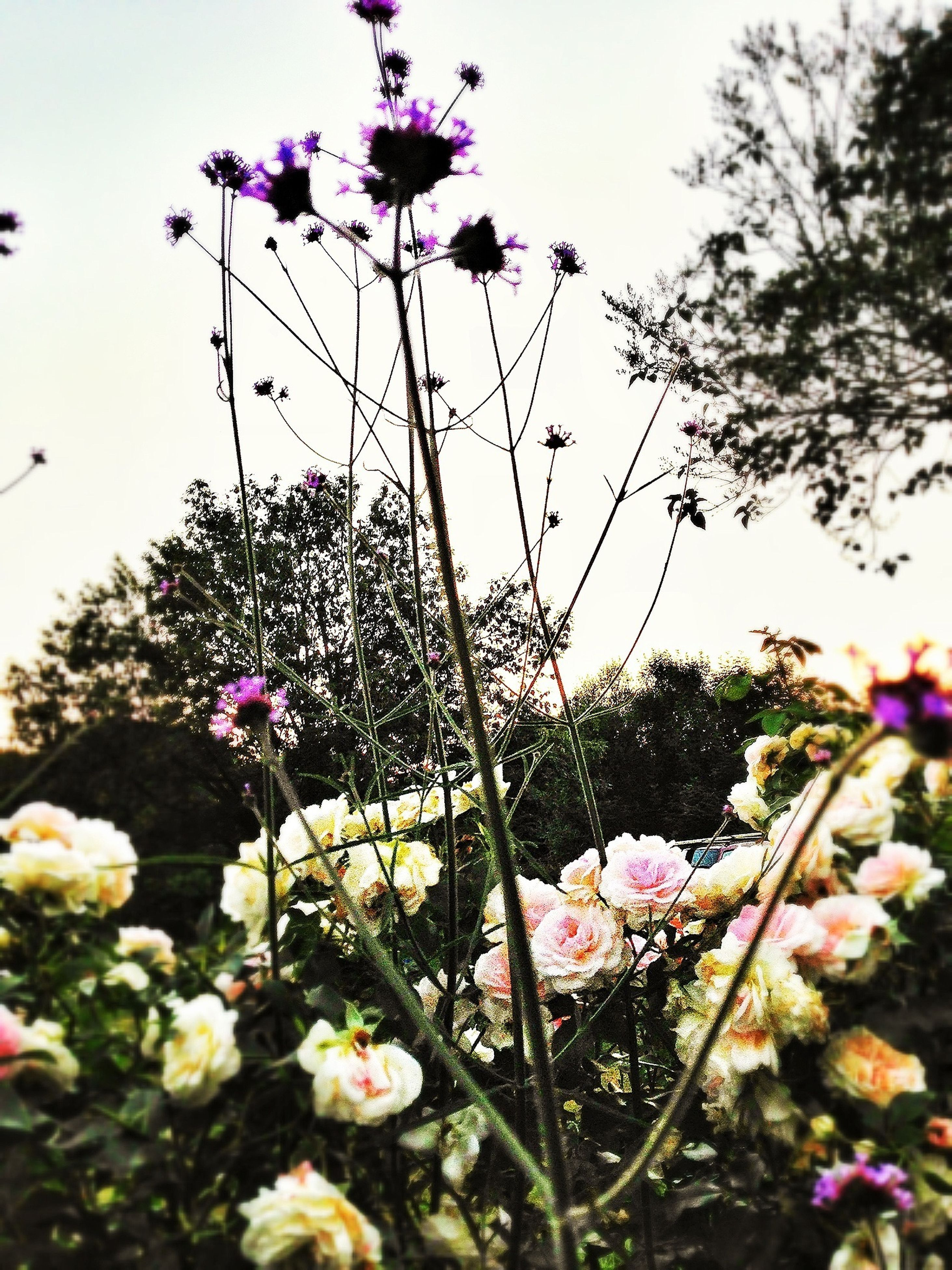 flower, freshness, fragility, growth, petal, beauty in nature, pink color, stem, blooming, nature, in bloom, plant, low angle view, flower head, blossom, sky, springtime, clear sky, botany, tree