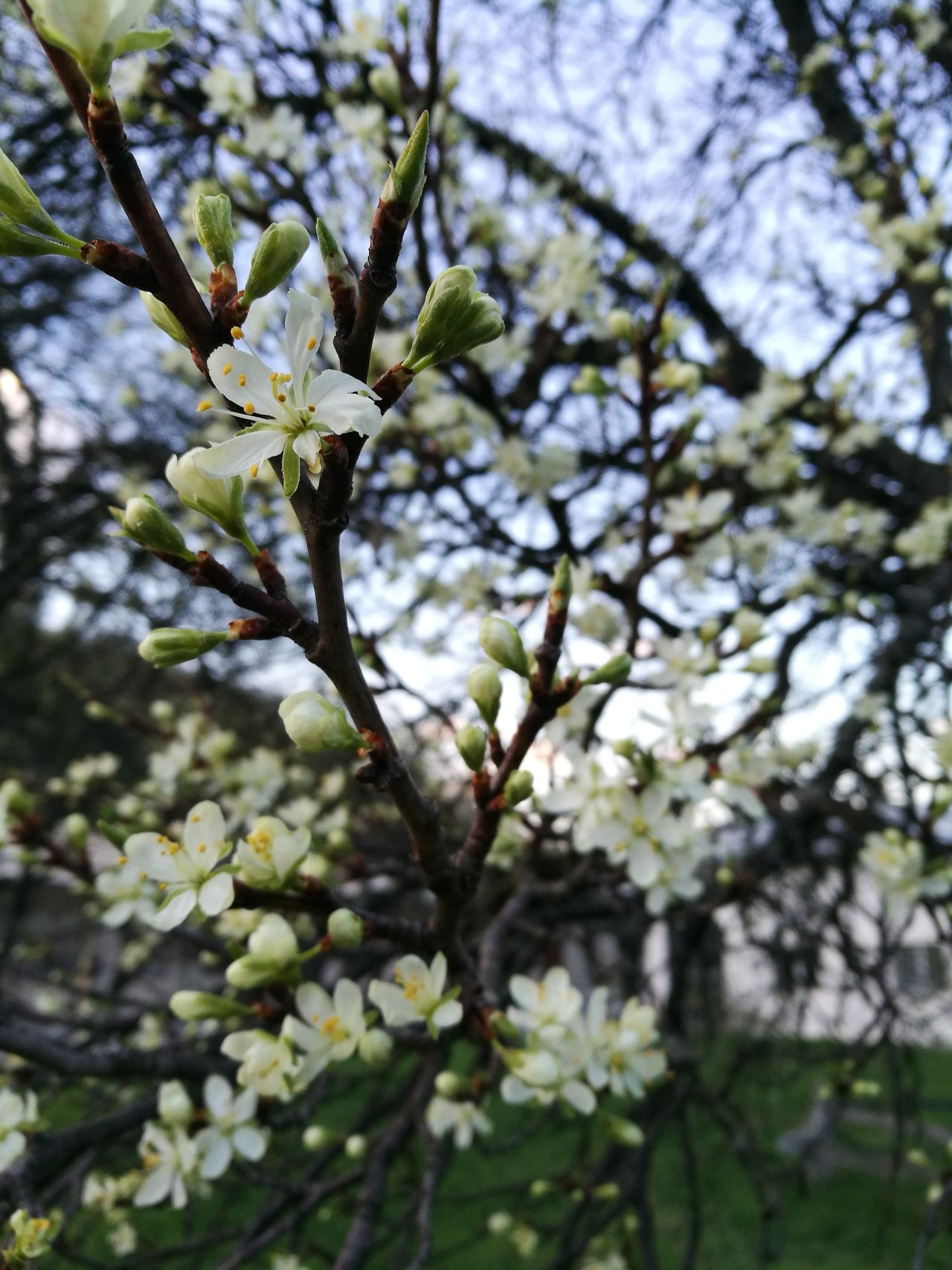 Everything is better when spring comes :) Nature Growth Tree Beauty In Nature Branch Close-up Twig No People Fragility Flower Day Outdoors Blossom Freshness Sky Apple Apple Tree Apple Flower Blossoms  Huawei P9 Leica Leicaphotography Leica Dual Camera HuaweiP9shots Huaweip9photos Leica Lens