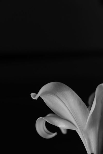 Flower Petal Fragility Nature Close-up Black Background Black And White AcroS