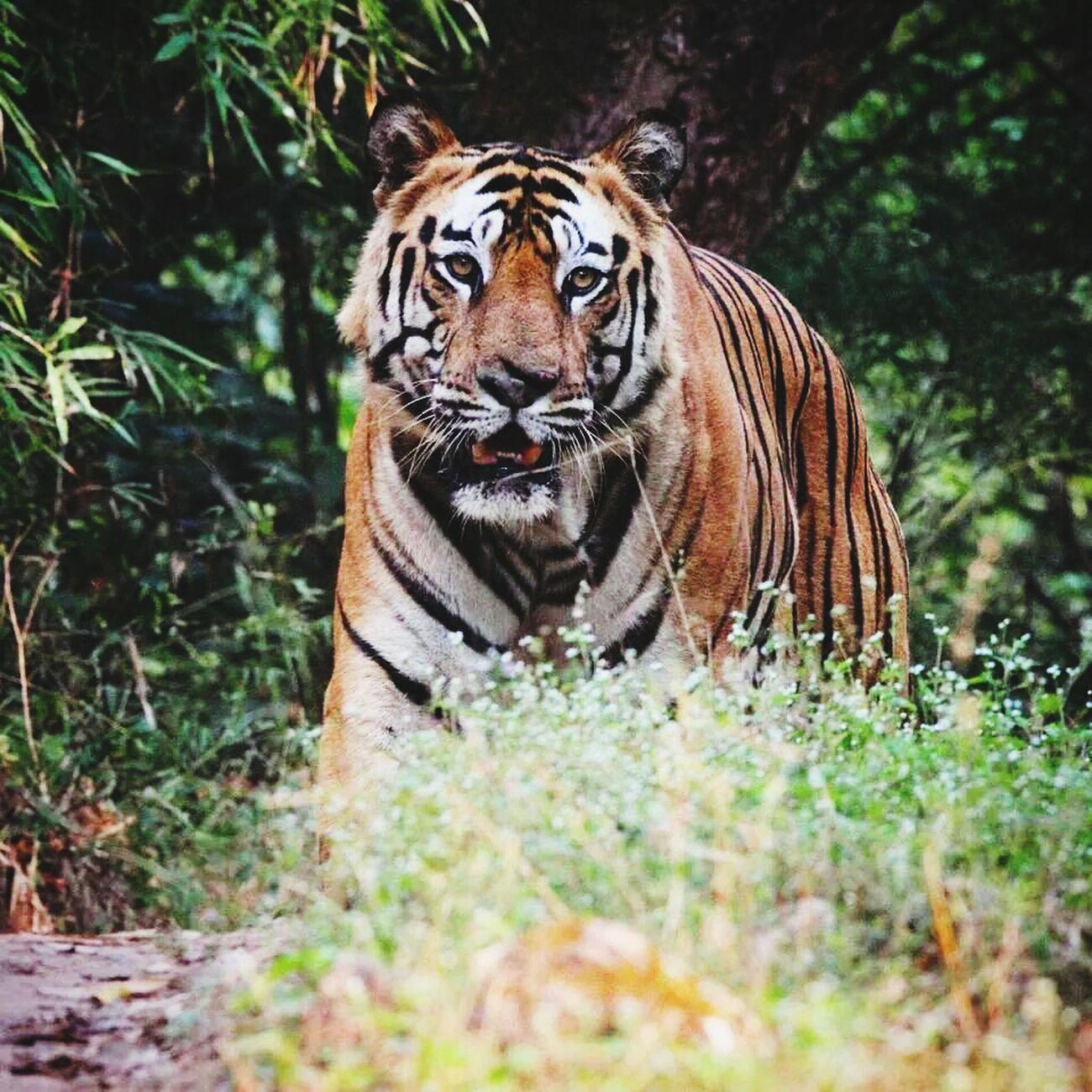 Bigcat Tiger Bandavgragh Wildlife