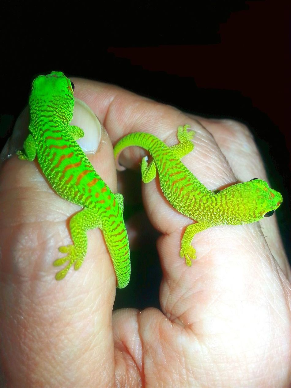 Two six days old Grandis babies. Baby's Babies Only Babies Reptile Close-up Hello World Exotic Creatures Jurassic World Of Dino's Hand Full Jurassicworld Hand Full Of Color Check This Out Lifestyles Dino's Photography God's Beauty New Life.... Human Hand Special_shots Born To Be Beautiful Exotic Animals Animal Babies Green Animal Green Green Colors Baby Animal